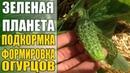 Выращивание огурцов / Когда и чем подкармливать как формировать