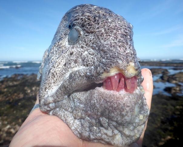 Угревидная зубатка