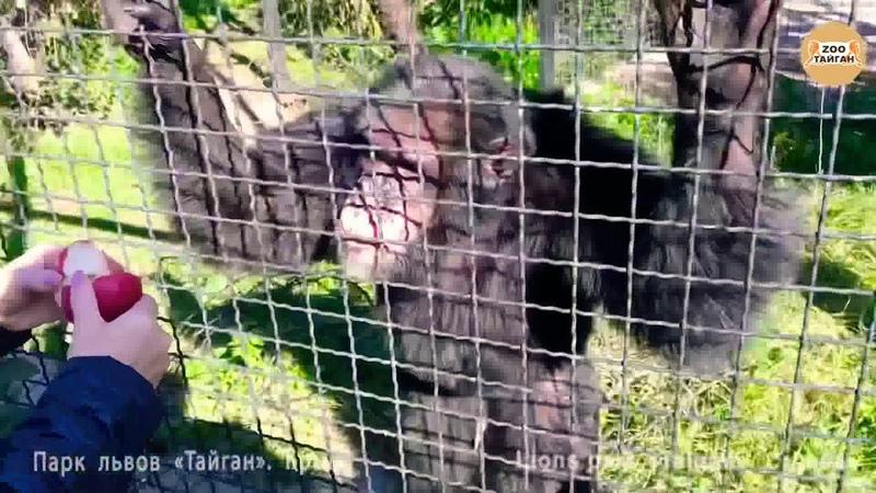 Шимпанзе Семён и Джуди Тайган Крым Chimpanzee Semen and Judy Taigan Crimea
