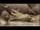 Бегемоты рядом с крокодилами. Nat Geo Wild.