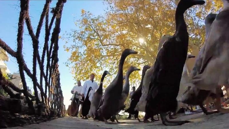 Утиный парад на винной ферме в ЮАР. Duck parade Vergenoegd Wine Estate