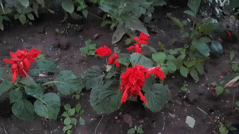 Цветы на клумбе с июня до октября колеус Сальвия цинния