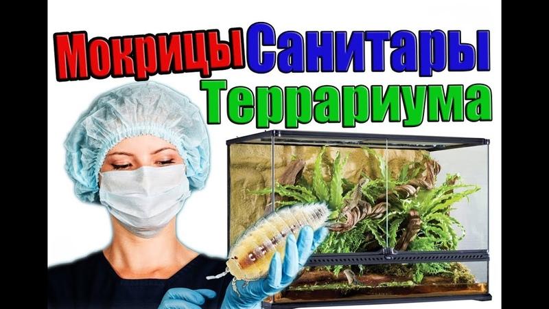 САНИТАР ТЕРРАРИУМА БЕЛАЯ карликовая ТРОПИЧЕСКАЯ МОКРИЦА Trichorhina tomentosa