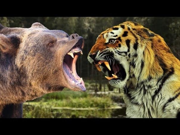 Кто сильнее - медведь или тигр Хищники в природе