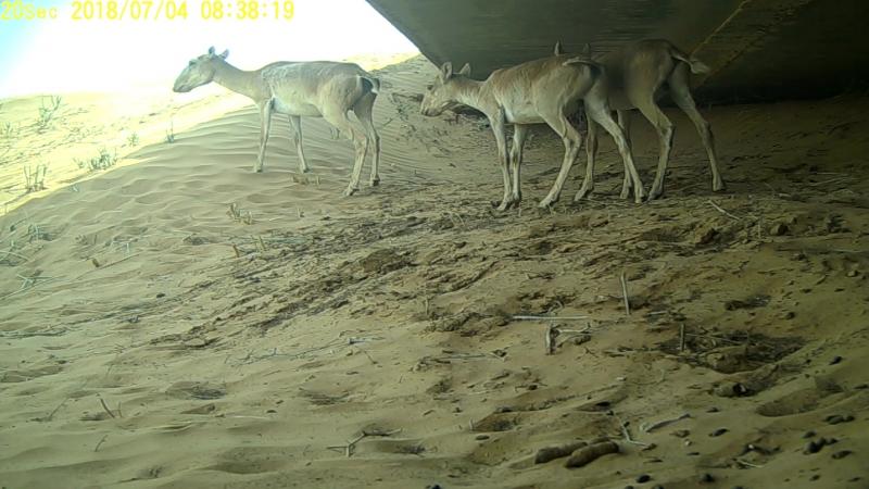 Приоткрывая заповедные двери...Жизнь пещерных сайгаков