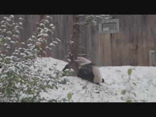 Панда и первый снег