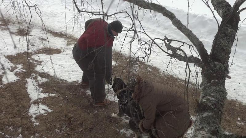 Таш, аборигенный САО, вывезен из отар Таджикистана, свободный пуск на улице