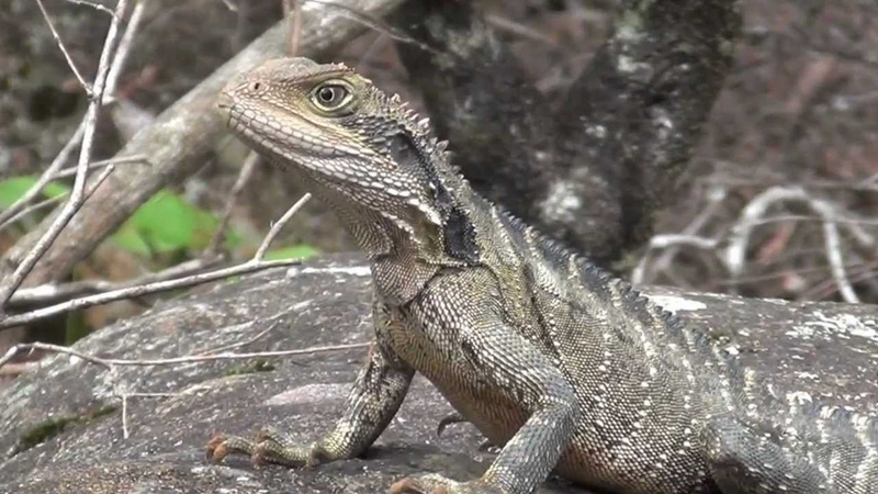 Eastern Water Dragon, Australian lizard filmed in the wild, Blue Mountains National Park