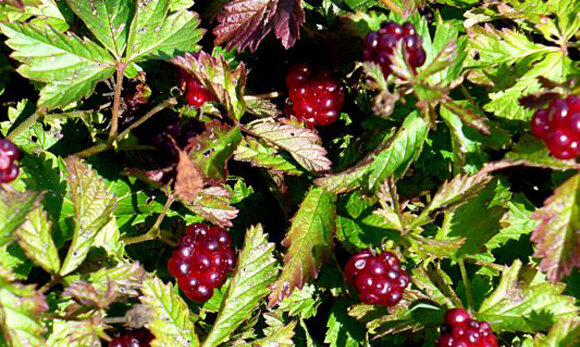Княженика: исконная русская ягода, которую все забыли.