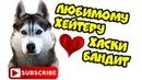 DOGVLOG ХАСКИ ПРОТИВ ХЕЙТЕРОВ. Поющие собаки. Хаски Бандит
