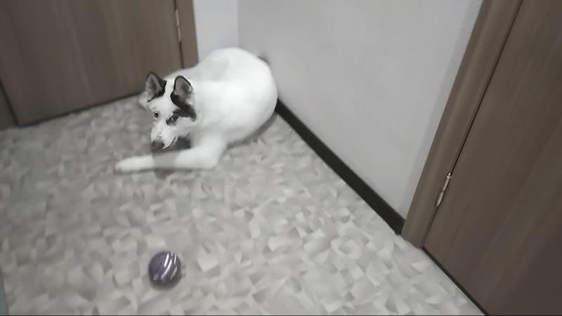 Балто, игра с мячами