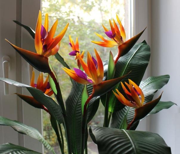 СТРЕЛИЦИЯ Стрелиция это многолетнее, вечнозеленое корневищное растение. Листья стрелиции крупные, овальной формы, кожистые, зеленые с сизо-голубым налетом, длиной от 30 до 200 см, шириной от 10