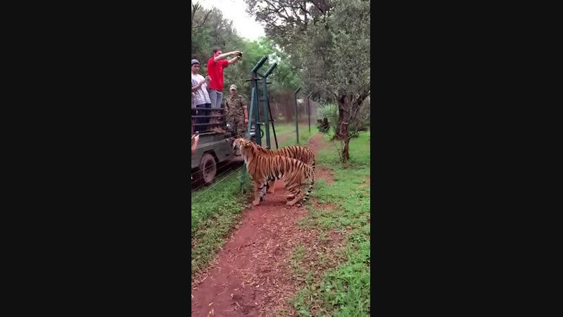 Замедленная съемка прыжка тигра за куском мяса.mp4