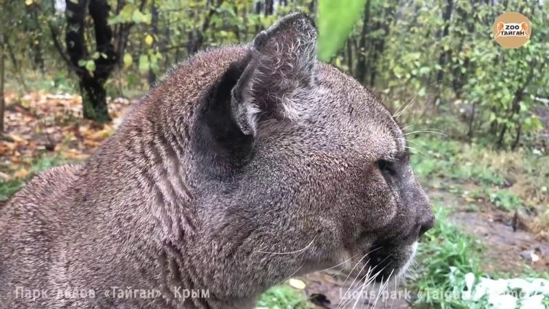 Пума жалуется на плохую погоду. Тайган. Крым. | Cougar complains about the cold