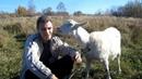 Всё о козах Хочу завести козу Для начинающих козоводов Содержание разведения коз