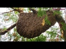 ผึ้งเดือน๕ ๕ค่ำ Cortar a abelha na árvore alta
