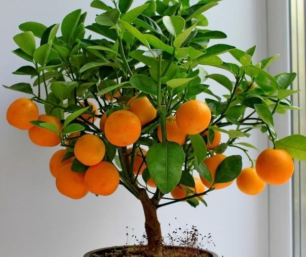 Каламондин - комнатное деревце. Каламондин (цитрофортунелла) относится к семейству рутовых, родом из Юго-Восточной Азии. В комнатных условиях культивируется один вид каламондина - мягкий. С