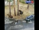 В городе Заречный Пензенской области лоси делили даму сердца