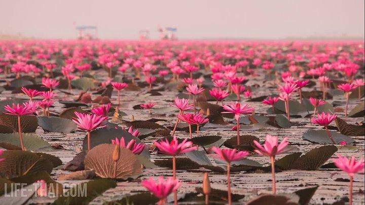 Красное озеро лотосов в Таиланде - Red Lotus Lake