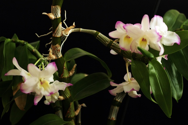Здравствуйте все! Хочу поделиться цветением дендробиума Нобиле. Но вот вопрос - детку отсаживать после того как она