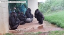 Apparently these gorillas at a South Carolina zoo don t like rain Story 2462811907117715