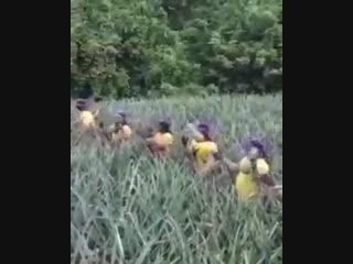вот так собирают ананасы