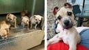 Saved Pit Bull Puppy Has Cutest 'Cinnamon Roll' Ears