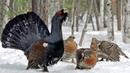Птицы под снегом Глухарь рябчик тетерев детям