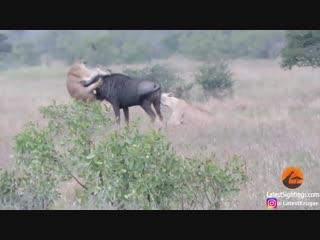 Антилопа гну сражается с львицами.Wildebeest Hooks Lion by Leg as it Tries to Escape