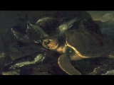 Saint-Saens_ Carnival of the Animals~Tortues (Tortoises)