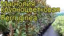 Магнолия крупноцветковая Феруджиния Краткий обзор описание magnolia grandiflora Ferruginea