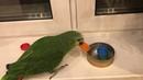 Прикол Попугай убирает игрушки на место