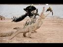 Liệu cá sấu bảo vệ gia đình mình khỏi móng vuốt đại bàng không ? Aligator vs Eagle vs Warthog