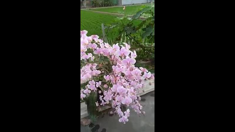 Phalaenopsis philippinensis x schilleriana