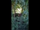 Сад Грёз. Беседка из тиса и кампсиса