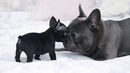 Funny and Cute French Bulldog Puppies Compilation 5 Cutest French Bulldog