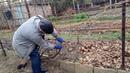 Изменение формировки старого куста винограда - часть вторая.