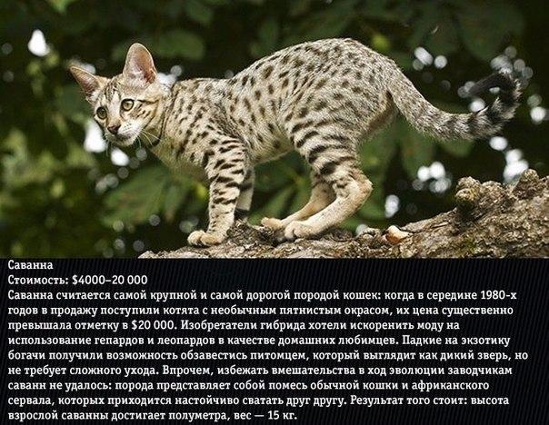 10 самых дорогих пород кошек Кошки сопровождают человека с древних времен. Отношение человека к кошкам на протяжении веков постоянно менялось.Кошек любили и ненавидели, обожествляли и убивали,