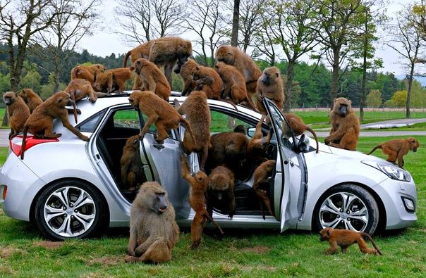 Павианы облепили автомобиль во время промоакции от автопроизводителя в сафари-парке Ноусли, Великобритания