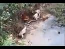 Bầy chó chiến đấu chống lại con rắn hổ to vật vã