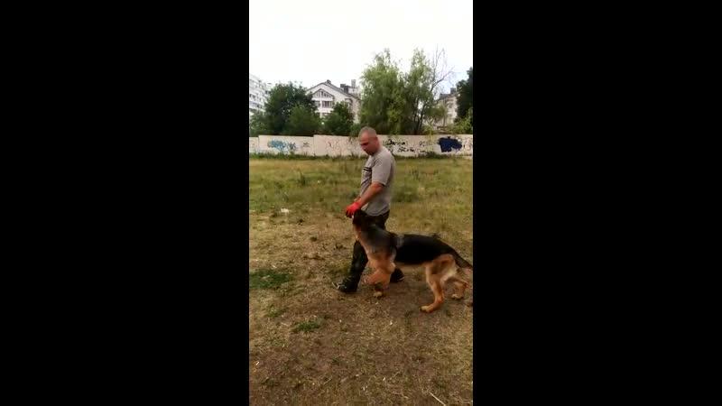 Syrus aus der Brunnenstraße 8 месяцев german shepherd dog