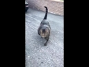 Heres a video of the buff cat