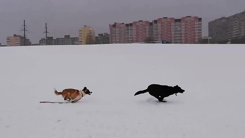 Жорджик и Зола - сайгаки :)