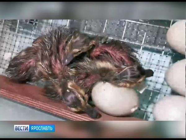 В Ярославле дикие утята вылупились в домашнем инкубаторе
