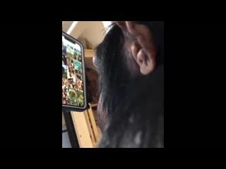 Видео с шимпанзе, освоившим инстаграм, поразило интернет-пользователей
