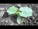 Опыт огородников по выращиванию рассады огурцов