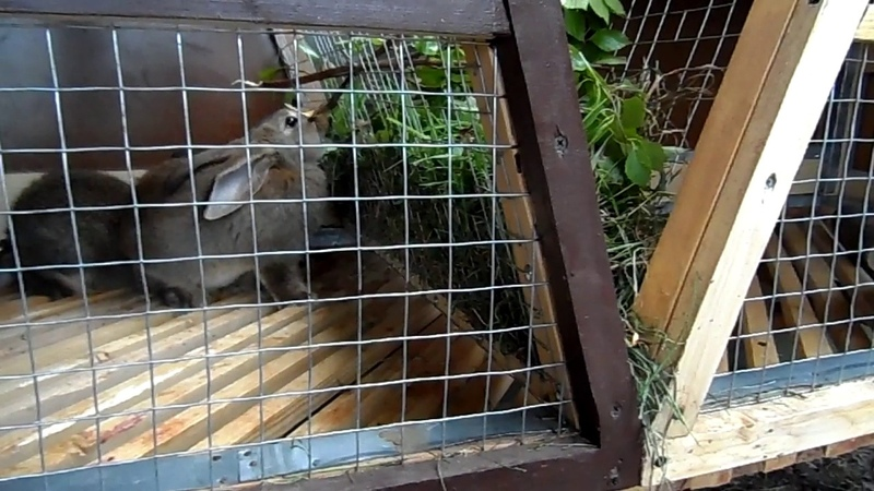 Кормление кроликов свежей травой.