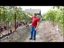 Основные ошибки при выращивании винограда