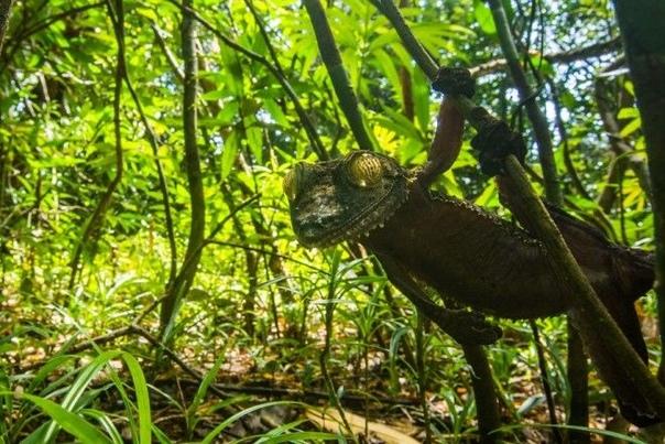 Скалящийся геккон  гуру маскировки