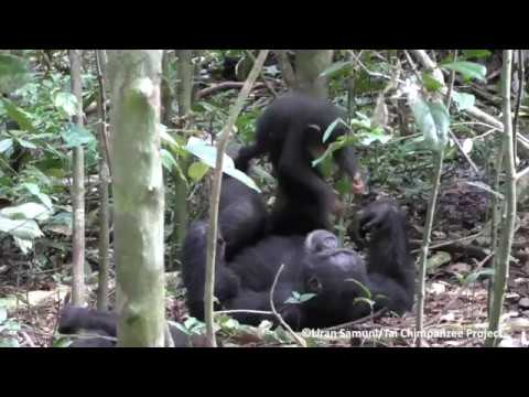 Tai Chimpanzee Project chimpanzees play airplane with turbulence